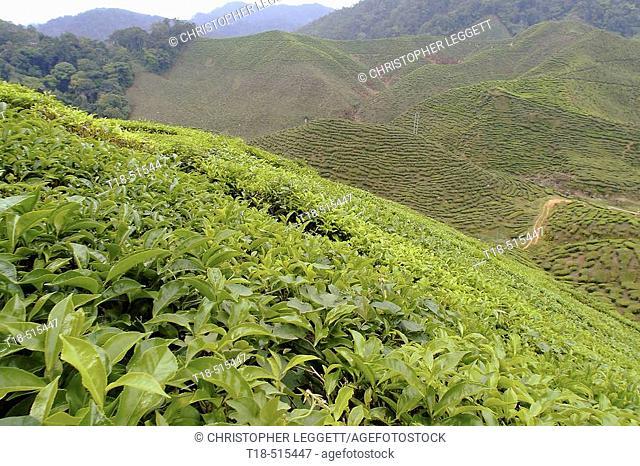 Tea fields, Malaysia