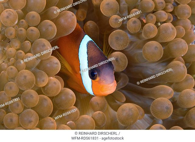 Tomato Anemonefish, Amphiprion frenatus, Gau, Lomaiviti, Fiji