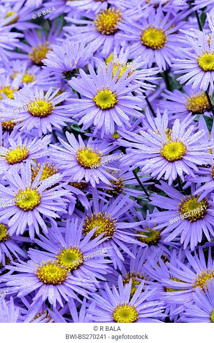 Aster Aster spec., blooming