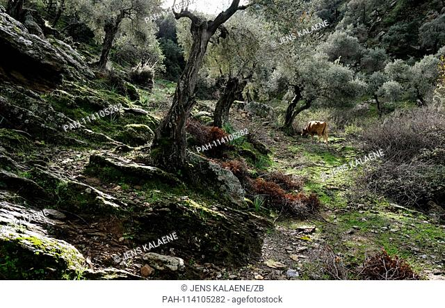 12.12.2018, Turkey, Didim: Olive tree and a cow in the Bafasee Nature Park. The water is an inland lake formed on the western coast of Turkey from an earlier...