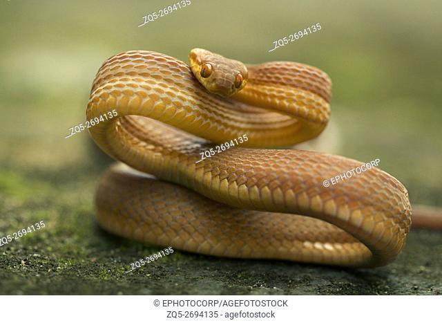 Colubridae, Tawny cat snake, Boiga ochracea, Gumti WLS, Tripura