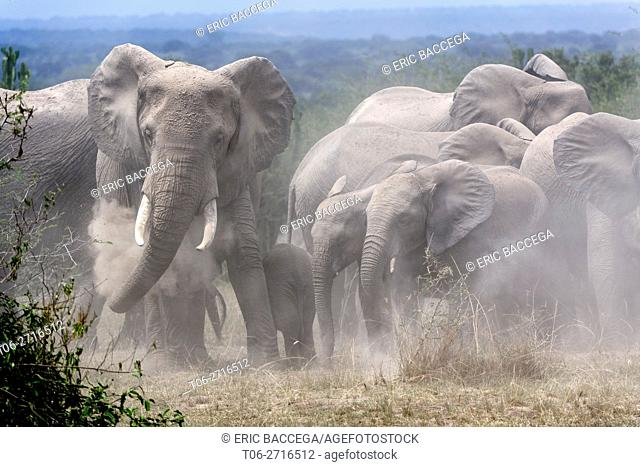 African elephant herd with calves taking a dust . bath (Loxodonta africana) Queen Elizabeth National Park, Uganda, Africa