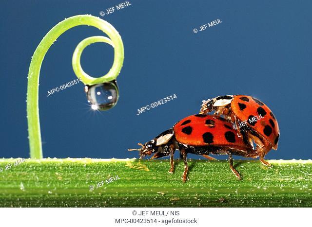 Asian Ladybird Beetle (Harmonia axyridis) pair mating on a stalk, Belgium