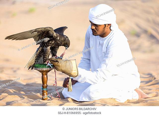 Saker Falcon (Falco cherrug). Falconer feeding trained bird on its block in the desert. Abu Dhabi