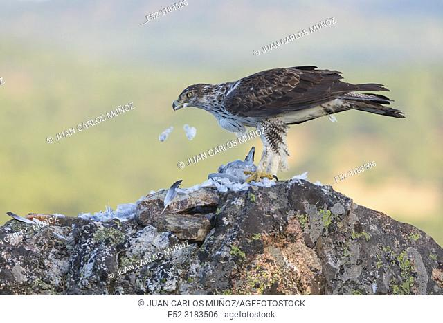 Bonelli's eagle (Aquila fasciata) feeding on prey, Sierra de San Pedro, Cáceres, Extremadura, Spain, Europe