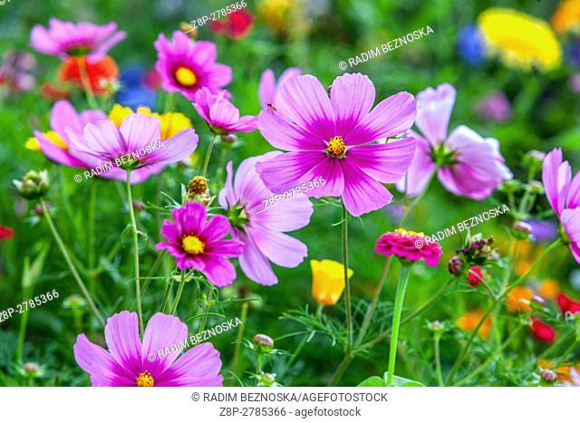 Cosmos bipinnatus together with Zinnia elegans blooming flowerbeds in late summer
