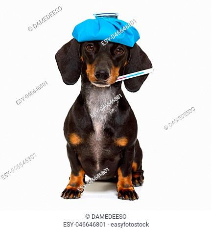 sick and ill dachshund sausage dog isolated on white background with ice pack or bag on the head, with thermometer