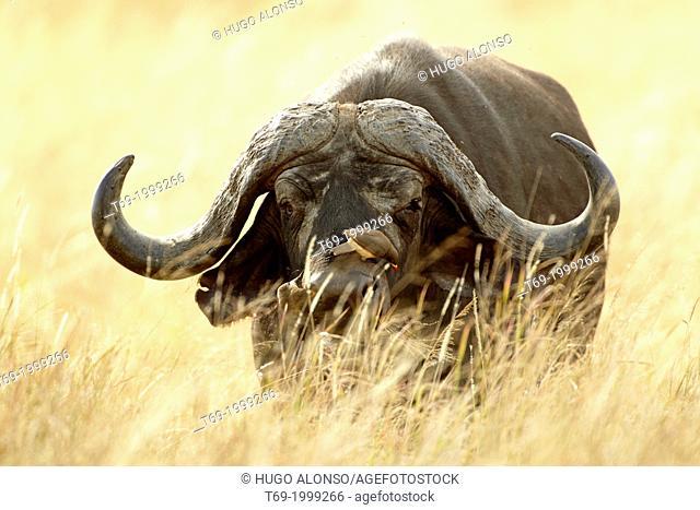 Cape buffalo. Syncerus caffer