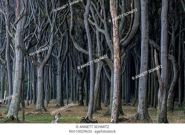 Ghost Forest, Nienhagen, Mecklenburg-Western Pomerania, Germany