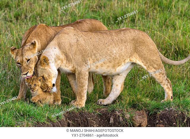 Lionesses greeting cub