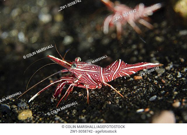 Dancing Shrimp (Rhynchocinetes durbanensis, Rhynchocinetidae family), Ghost Bay dive site, Amed, east Bali, Indonesia