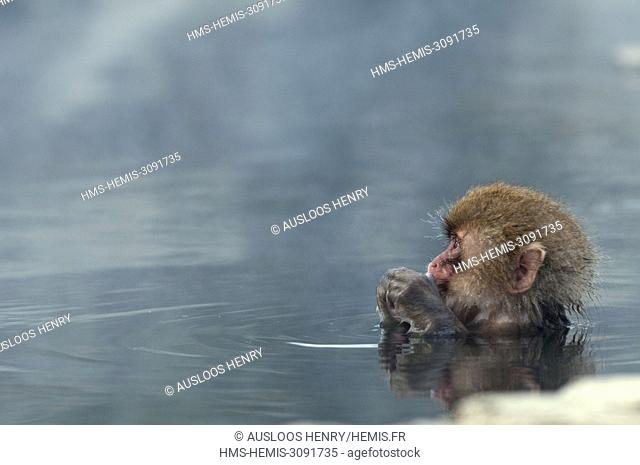 Japan, Japanese macaque or snow japanese monkey in onsen (Macaca fuscata)