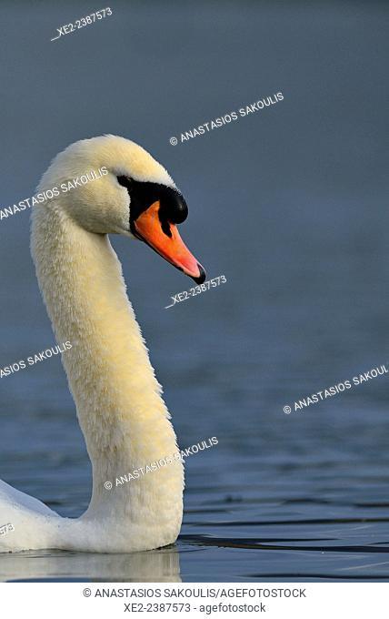 Mute Swan - Cygnus olor, Crete