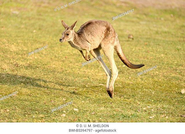 eastern gray kangaroo (Macropus giganteus), jumping