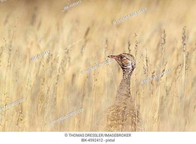 Northern Black Korhaan (Afrotis afraoides) in high grass, female, Kalahari Desert, Kgalagadi Transfrontier Park, South Africa
