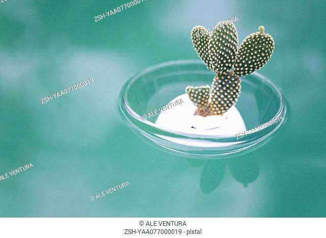 Cactus Opuntia Dicrodasys in bowl, floating on water