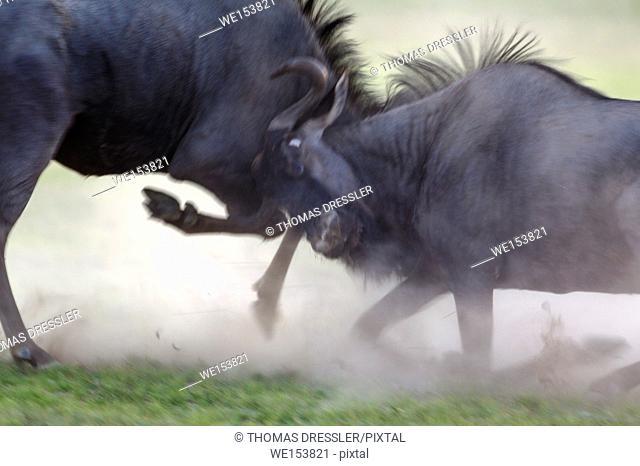 Blue Wildebeest (Connochaetes taurinus). Fighting at dawn. During the rainy season in green surroundings. Kalahari Desert, Kgalagadi Transfrontier Park