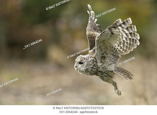 Tawny Owl / Waldkauz ( Strix aluco ) in noiseless flight, flying, hunting, side view, autumn, Europe