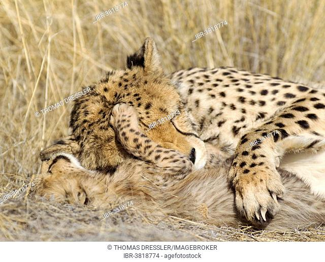 Cheetah (Acinonyx jubatus), tired female and her male cub, 41 days, captive, Namibia