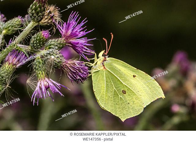 Germany, Saarland, Bexbach - A common brimstone suckles on a blossom
