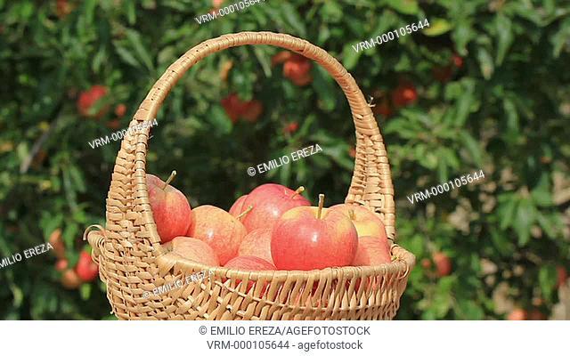 Harvesting apples. Lleida, Catalonia, Spain