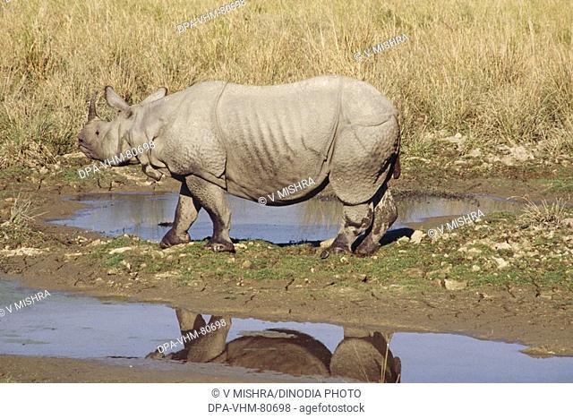One Horn Rhinoceros Rhinoceros unicornis , Kaziranga National Park , Assam , india