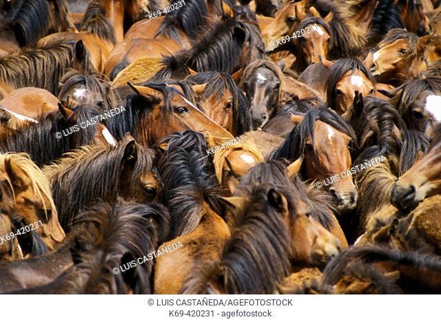 Rapa das Bestas. Curro de Mougas. Pontevedra. Galicia. Spain