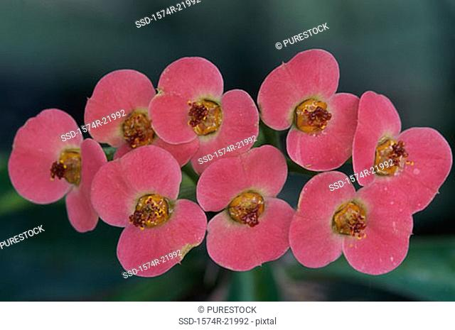 Close-up of Crown-of-Thorns flowers