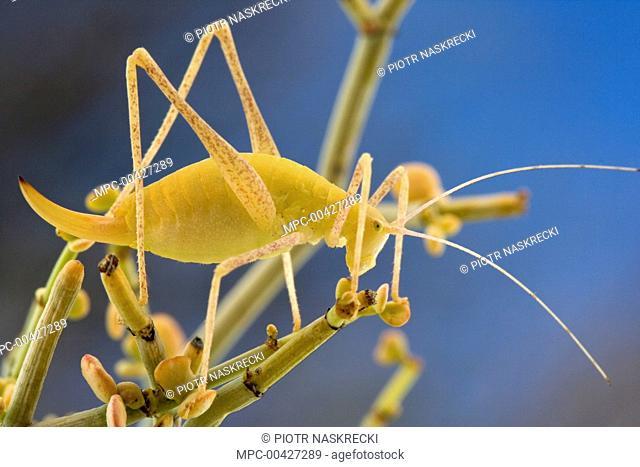 Katydid (Brinckiella arboricola), a newly discovered species from fynbos habitat, Goegap Nature Reserve, South Africa