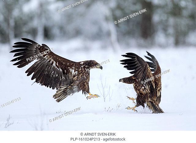 Two white-tailed eagles / sea eagle / ernes (Haliaeetus albicilla) fighting in the snow in winter