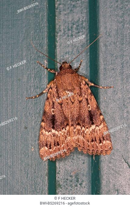 Copper Underwing, Humped Green Fruitworm, Pyramidal Green Fruitworm Amphipyra pyramidea, sitting at a garden fence, Germany
