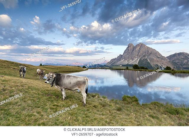 Europe, Italy, South Tyrol, Bolzano. Cows grazing near the Wackerer lake, on the background the Sass de Putia, Dolomites