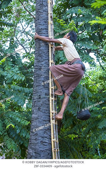 Burmese farmer climbing a Palm tree for juice to extracting palm sugar in a village near Bagan