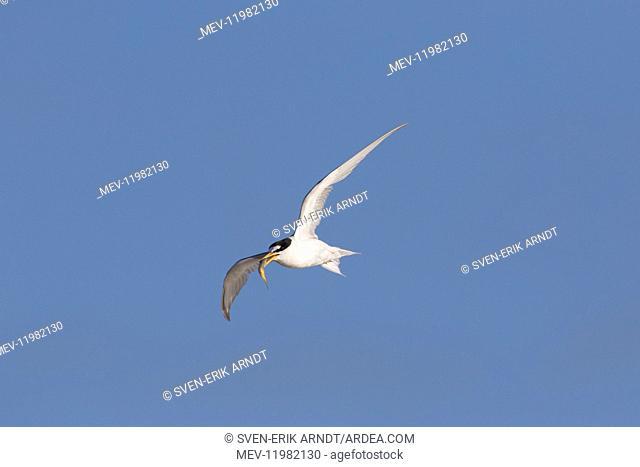 Little Tern - adult tern in flight - Germany