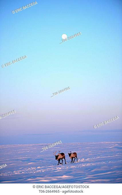 Two reindeers (Rangifer tarandus) migrating in spring at sunset under the moon, Yar-Sale district, Yamal, Northwest Siberia, Russia