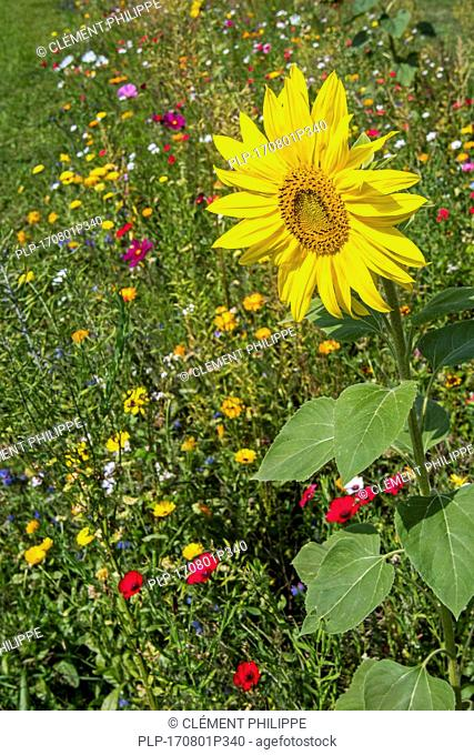 Sunflower and colourful wildflowers in wildflower zone bordering grassland, planted to attract and help bees, butterflies and other pollinators