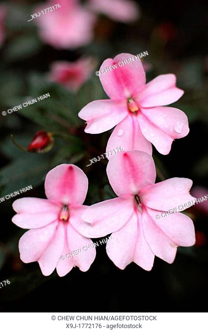 Pink Color Tropical flowers, asia
