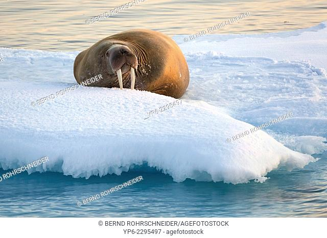 Walrus (Odobenus rosmarus) lying on ice floe in the light of the midnight sun, Hinlopenstretet, Spitsbergen, Svalbard