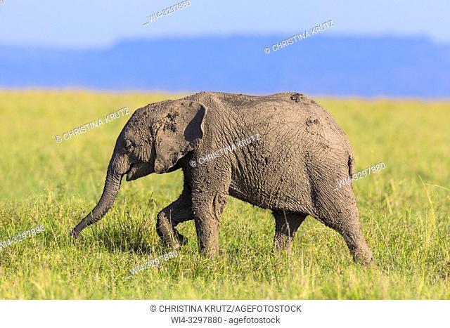 Young African elephant (Loxodonta africana) covered in mud, Maasai Mara National Reserve, Kenya, Africa
