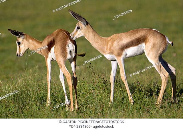 Springbok (Antidorcas marsupialis) - Lambs, Kgalagadi Transfrontier Park in rainy season, Kalahari Desert, South Africa/Botswana