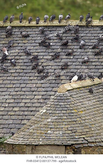Feral Pigeon (Columba livia) flock, standing on slate roof of disused building, Berwickshire, Scottish Borders, Scotland, September