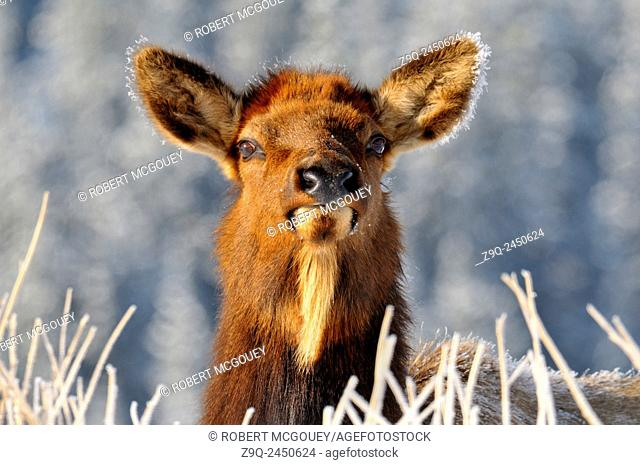 A close up winter portrait of a wild curious Elk cow 'Cervus elaphus', with frost crystals on her ears in Jasper National Park, Alberta. Canada