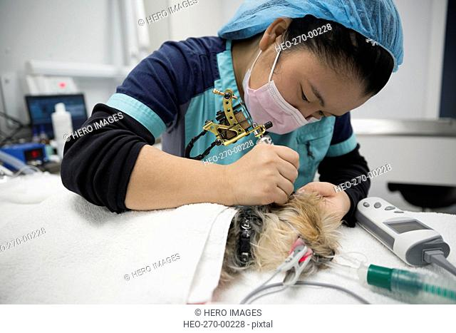 Veterinarian operating on small dog clinic operating room