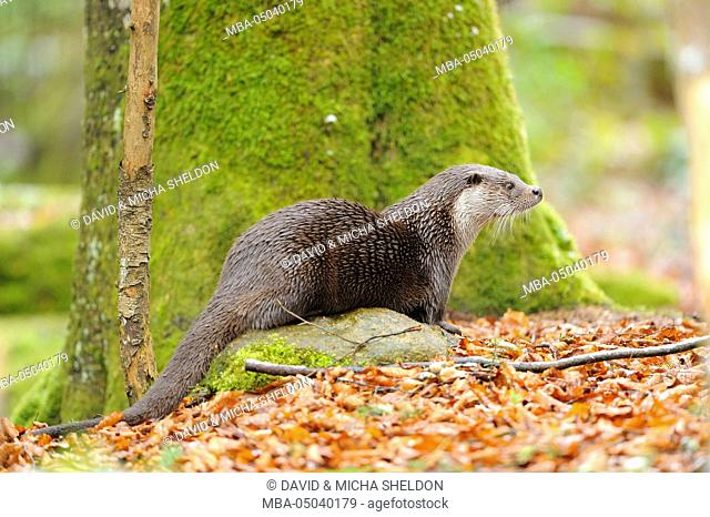 Eurasian otter, Lutra lutra, wood, side view, stand