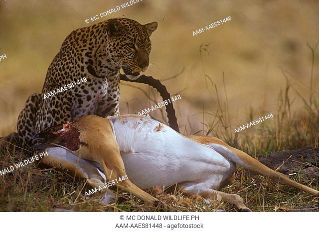Leopard with Impala Kill (Panthera pardus) Masai Mara GR, Kenya