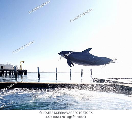 SPAWAR Navy Marine Mammal Programme, San Diego November 2006 Dolphin seen jumping high above its pen  All dolphins are capable of leaping over the low retaining...