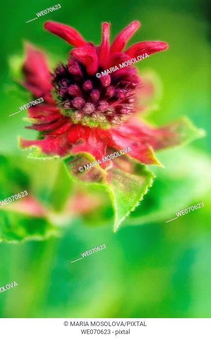 Monarda Flower. Monarda didyma. July 2006, Maryland, USA