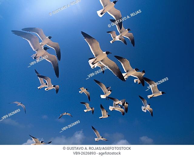 full Animal Themes Flying, Gulls Bonaparte 1 Animal Flying Gull Bonaparte in sky (Chroicocephalus philadelphia), South America archipiélago Los Roques...
