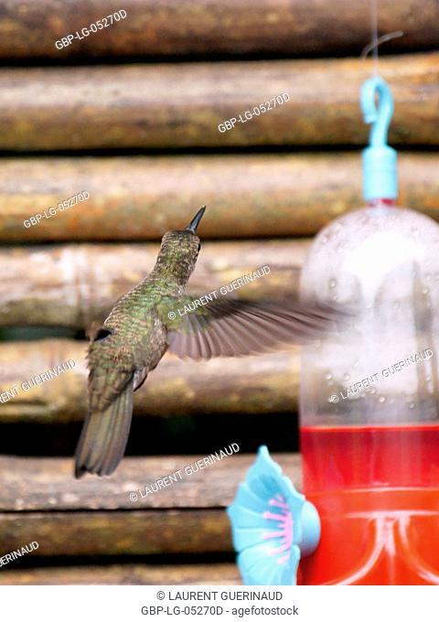 Hummingbird, North Coast, Camburi, São Paulo, Brazil