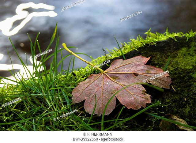 sycamore maple, great maple (Acer pseudoplatanus), autumn leaf lying at a mossy riverside, Germany, Saxony, Vogtlaendische Schweiz, Triebtal